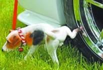 经验交流:听说狗尿能腐蚀轮胎,我怎么就这么不信呢,你信吗?