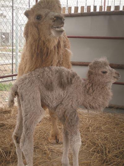 """15日下午,记者在开心动物园内,看到了这头""""萌萌哒""""的小骆驼,而当记者"""