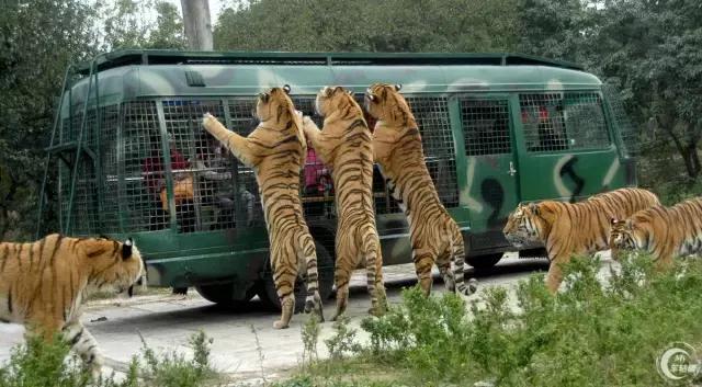 7月23日下午,北京延庆八达岭野生动物园内,两名自驾游女游客在猛兽区